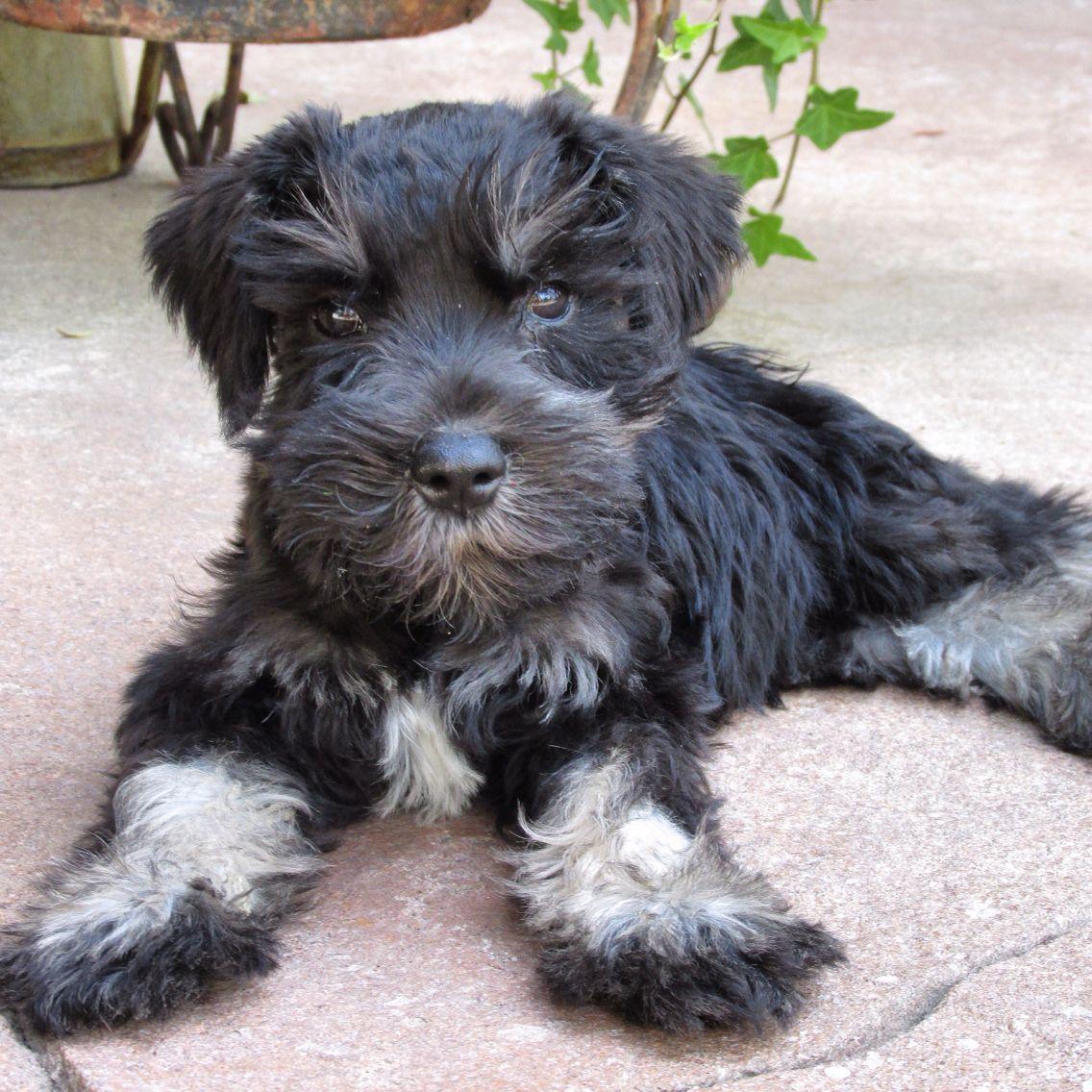 Mini schnauzer..8 weeks old. Baby Tucker. He's perfect ...