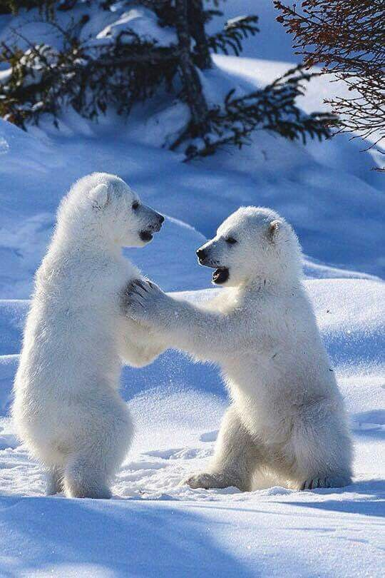Two little polar bears