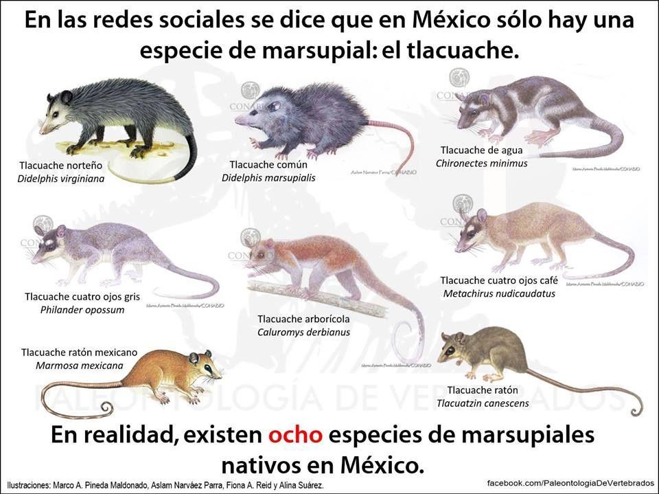 El Tlacuache Especie Nativa De Mexico El Tlacuache Animales Informacion Animales Salvajes