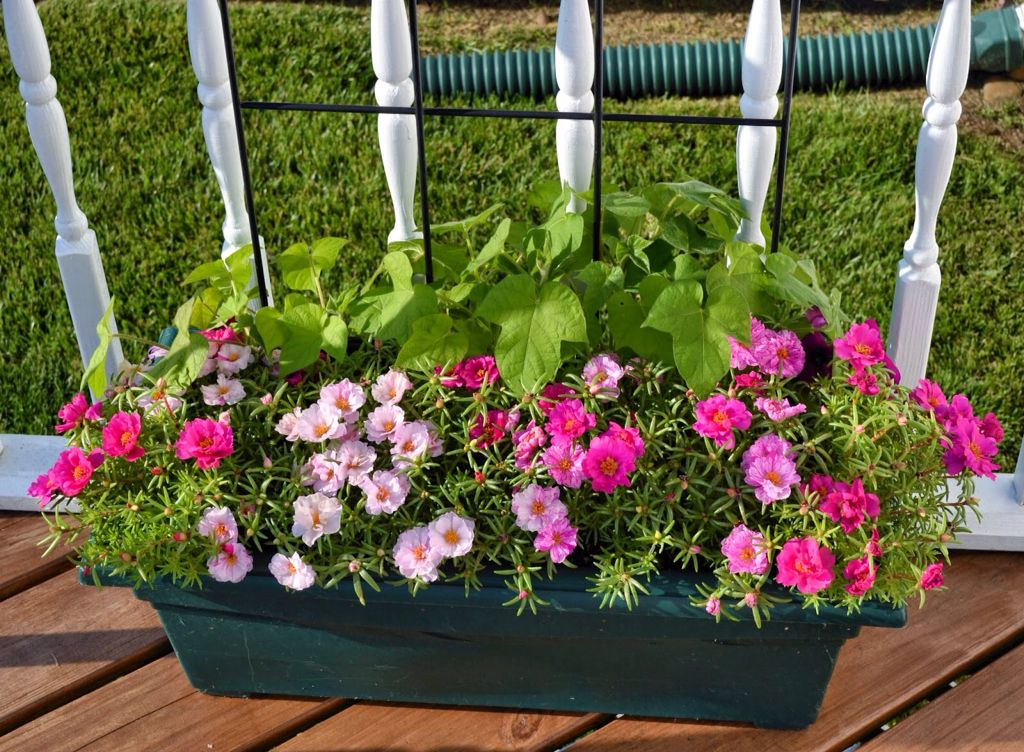 A Planter With Moss Roses And Morning Glories