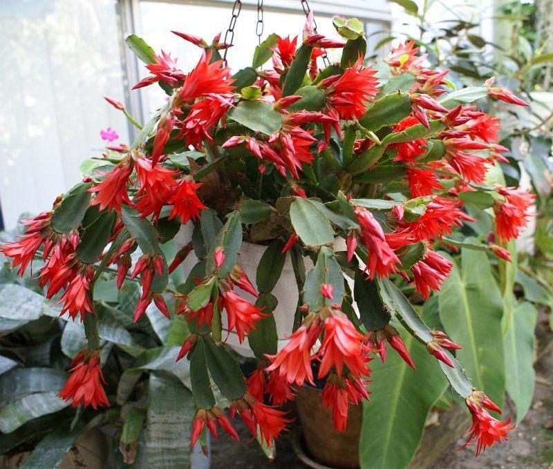 Epiphytic Cacti. Google'da Ara