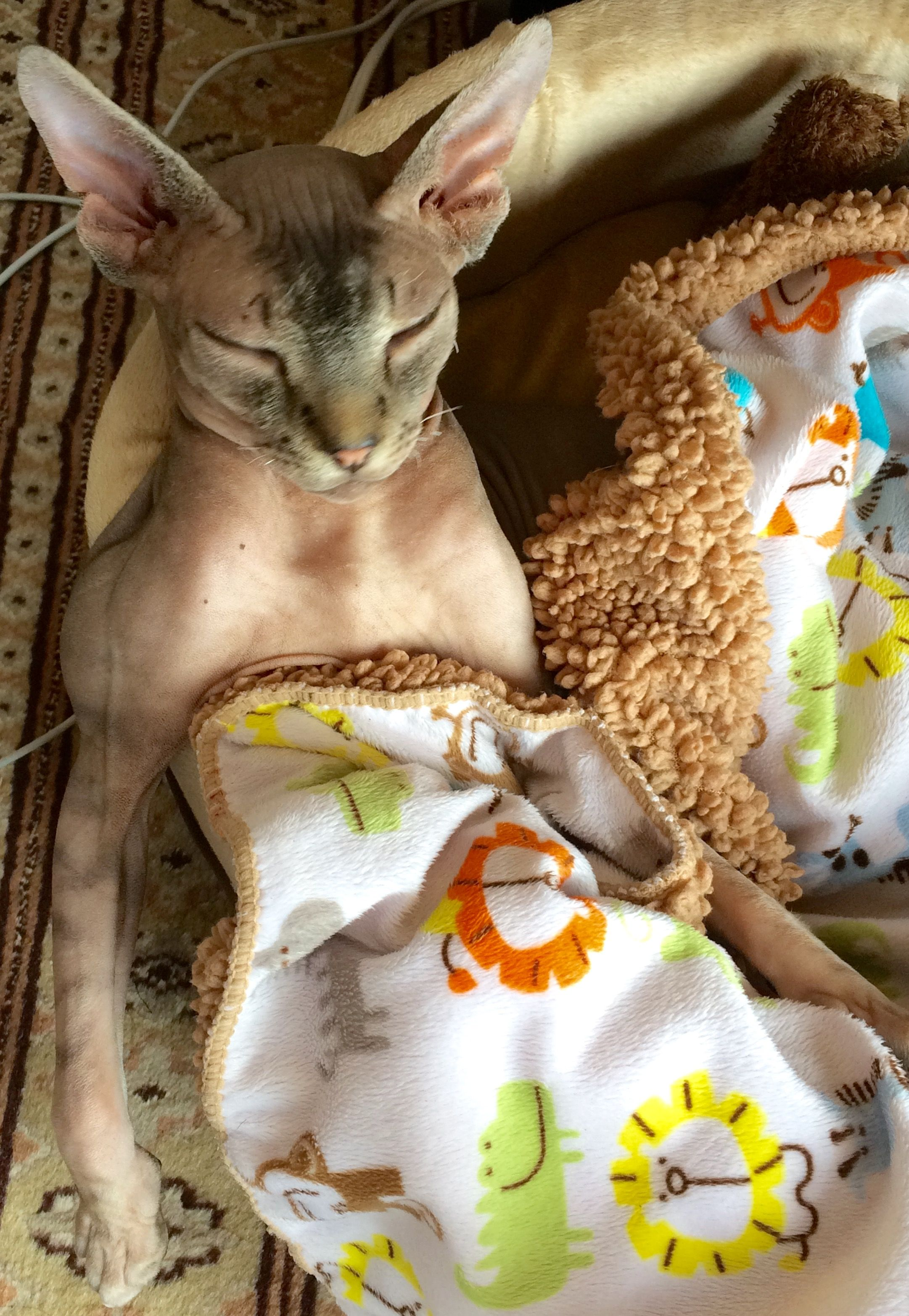 Ohhh Yeah Seriously You Got The Respect Your Sphynx King When He Is Sleeping Lol Mrwilsonthesphynxcat I Am Way To To Devon Rex Cats Hairless Cat Rex Cat