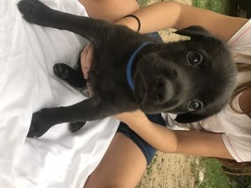 Litter of 6 black shepherd /black lab mix Mix puppies for