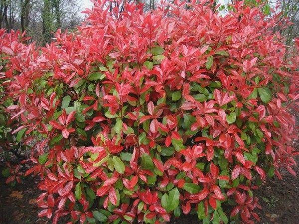 photinia x fraseri 39 red robin 39 ornamental variegated. Black Bedroom Furniture Sets. Home Design Ideas