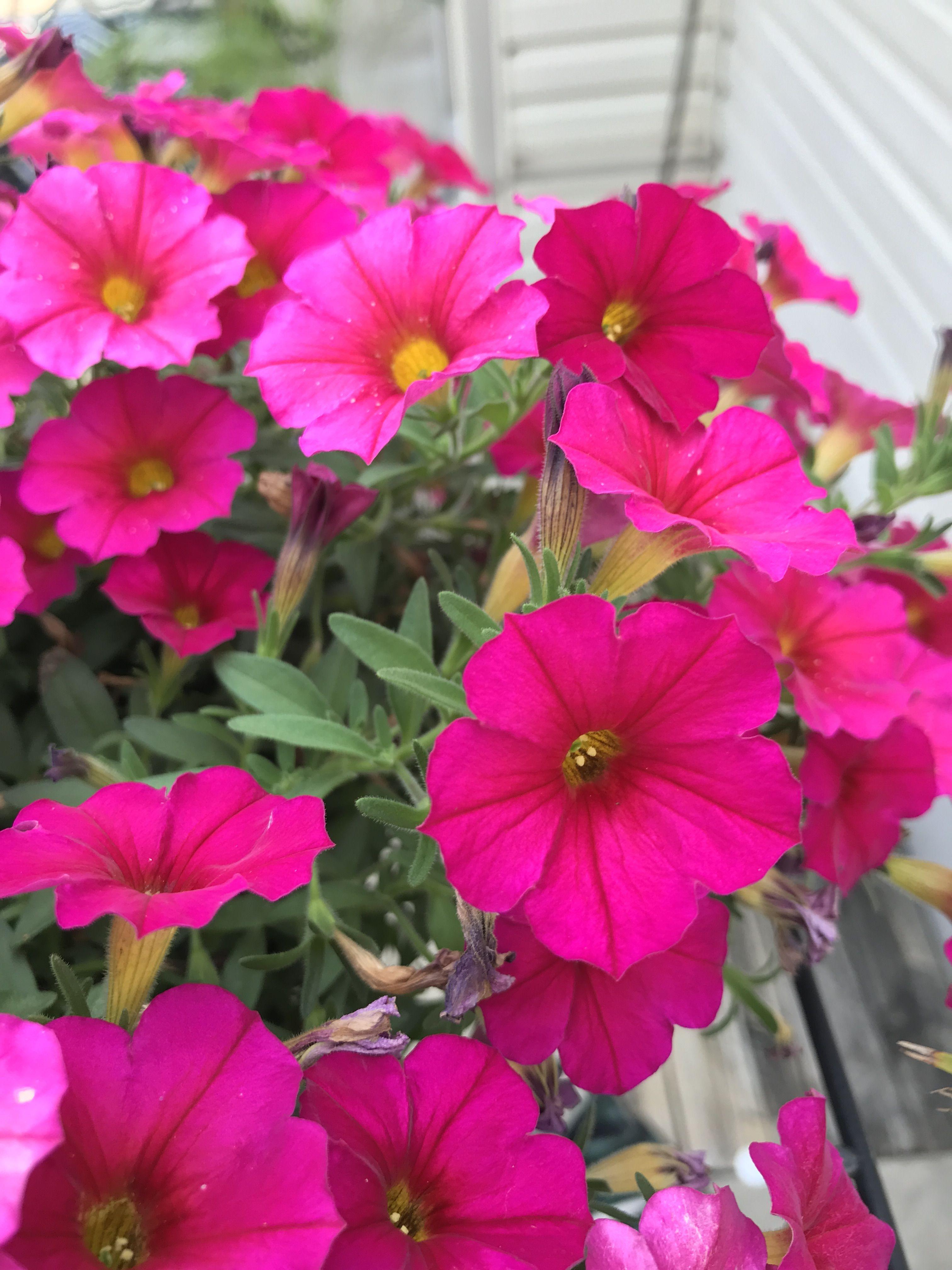Kabloom Deep Pink Calibrachoa Full Sun Annuals Easy Care No Deadheading Needed Keep Soil Moist Landscaping Retaining Walls My Flower Bloom