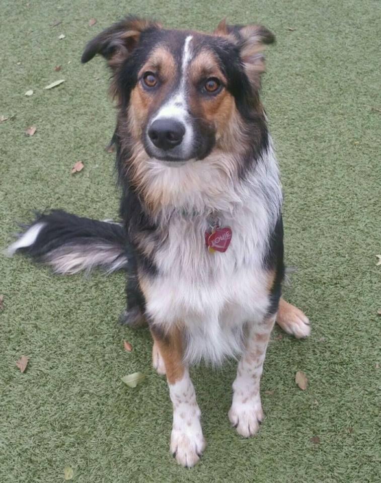 Border Collie Dog For Adoption In Salt Lake City Ut Adn 439528