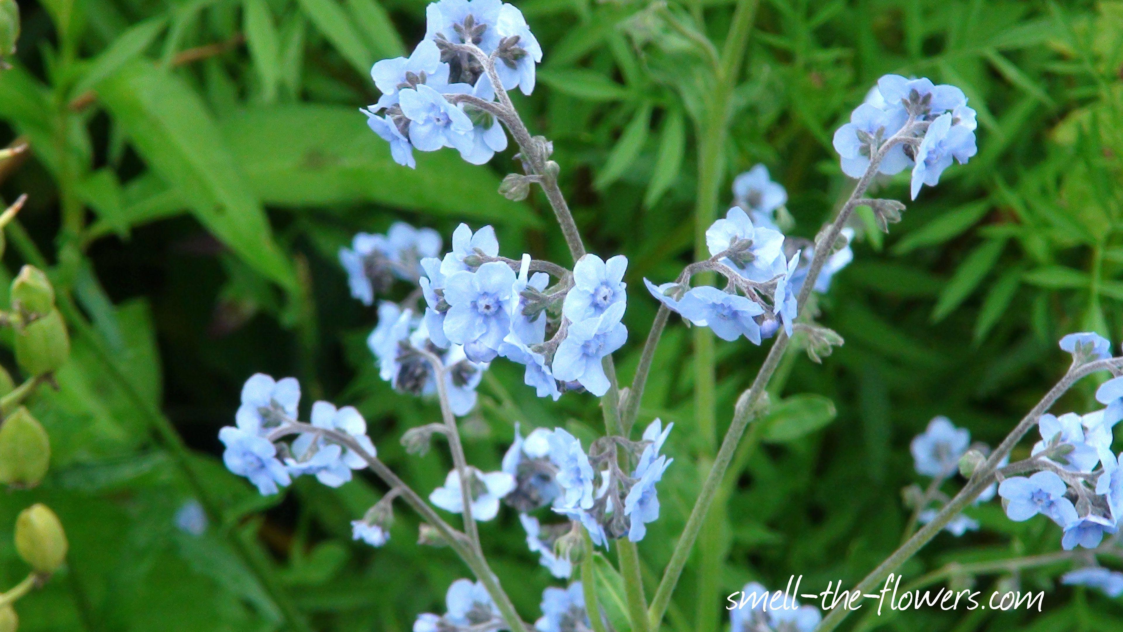 lightblueflowers.jpg (3840×2160) Light blue flowers