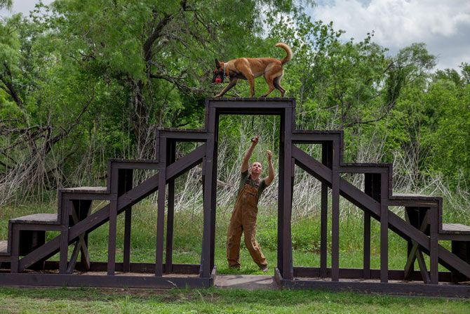 A Belgian Malinois Learns Obedience As It Trains On An Obstacle