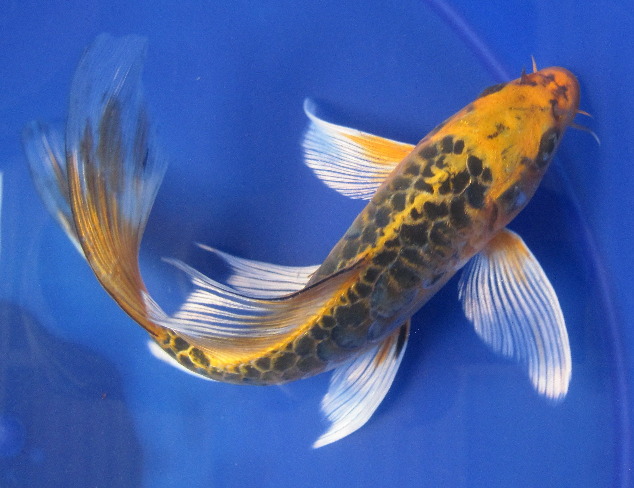 Butterfly koi fish butterfly matsubu dragon scale 75 for Large koi carp