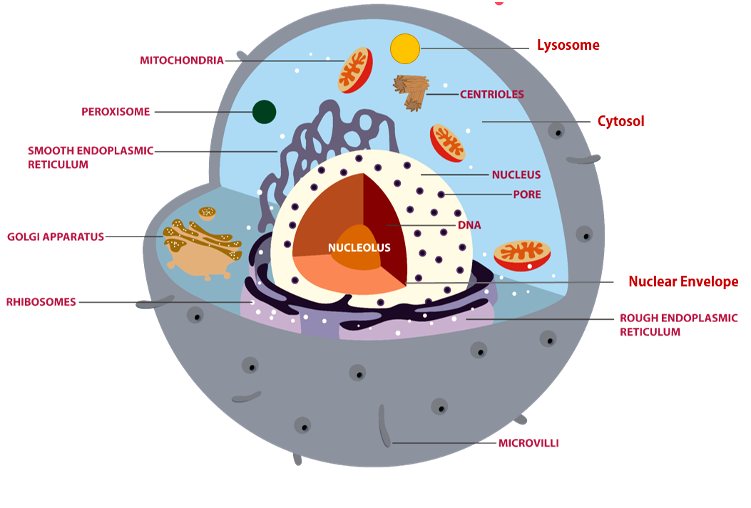Regions of the Cell The 3 Main Regions of the Cell are 1