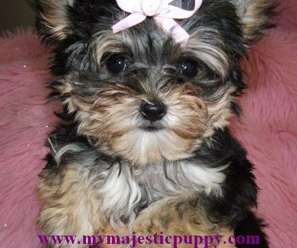 Sold Morkie Puppies Morkie Puppies Puppies Animals Beautiful