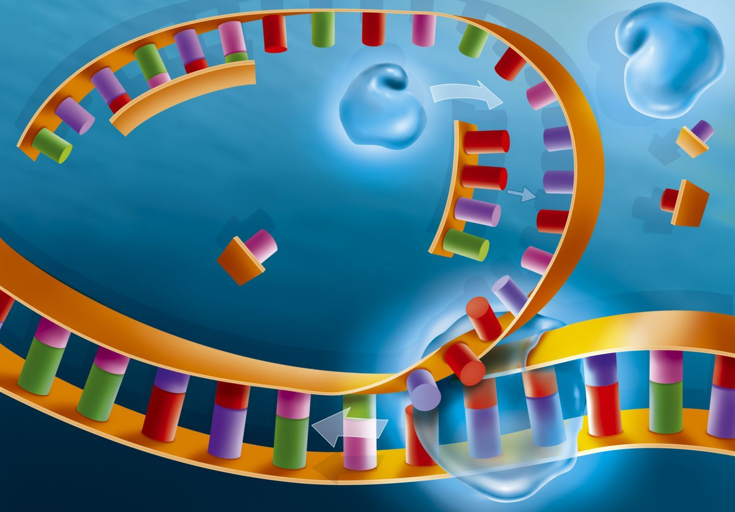 Steps of DNA Replication Dna replication, Dna, Dna facts