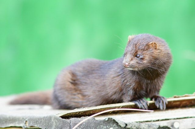 Stop Fur Farming Mink Animals Mink Animal