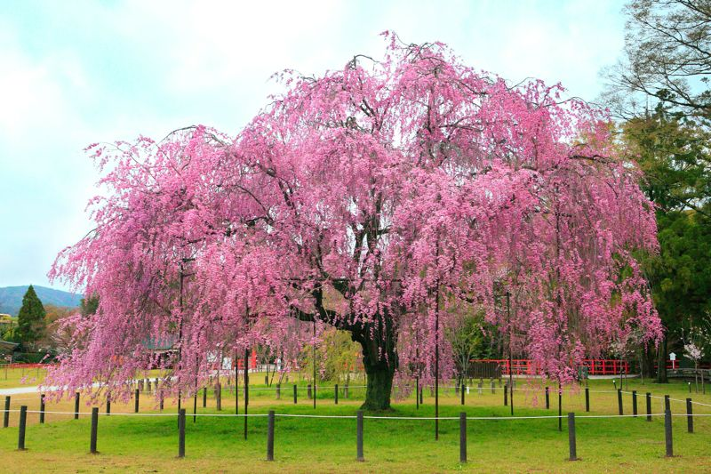 Sakura Tree Japanese Garden Japanese Cherry Tree Cherry Blossom Tree