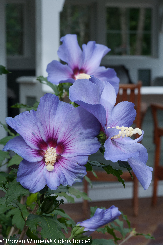 Azurri Blue Satin Rose Of Sharon Hibiscus Syriacus Rose Of Sharon Hibiscus Flowers Hibiscus