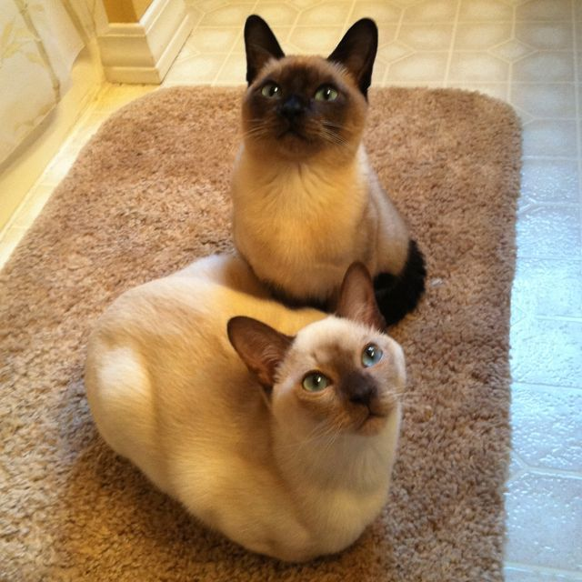 Tonkinese Cats Gatos Ilovecats Catlover Cute Cats And Dogs Tonkinese Cat Cute Cats And Kittens