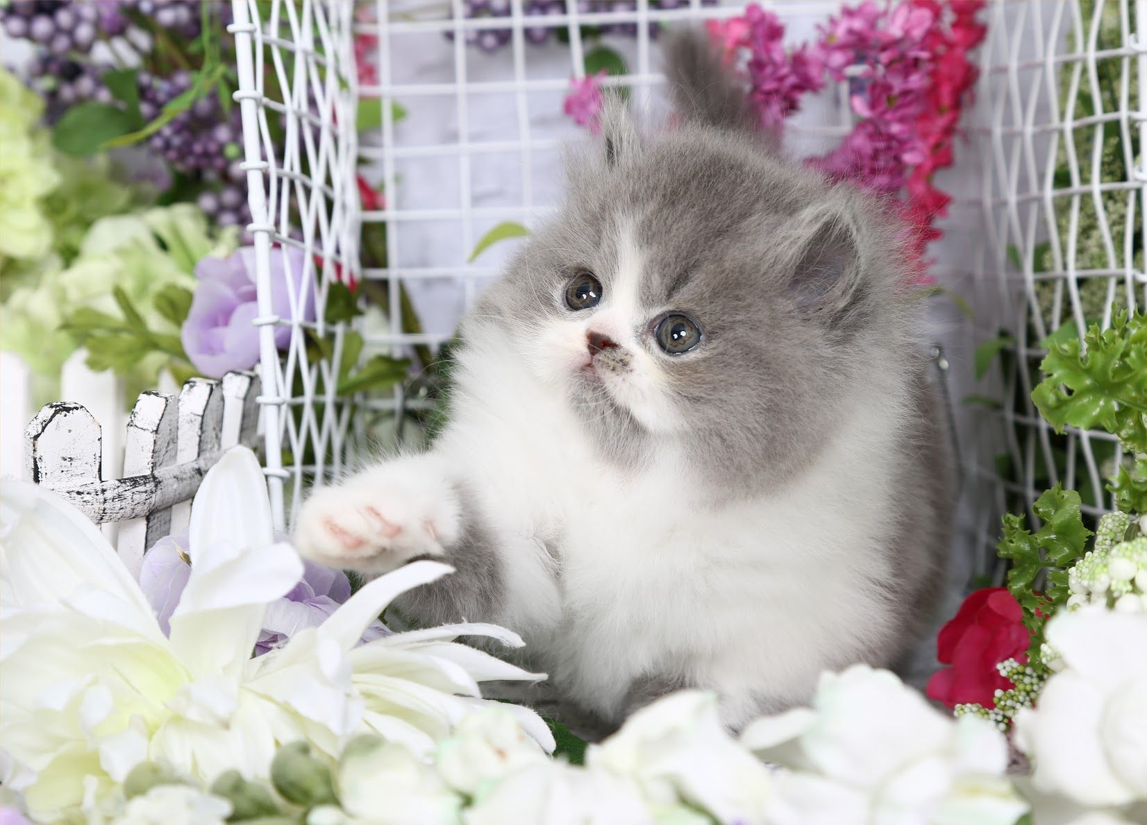 Penelope Click Here (With images) Persian kittens for
