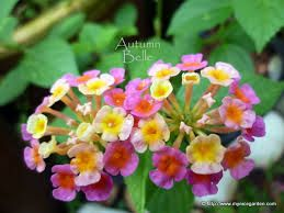 Image Result For Lantana Flower Philippines Lantana Flower Lantana Flowers