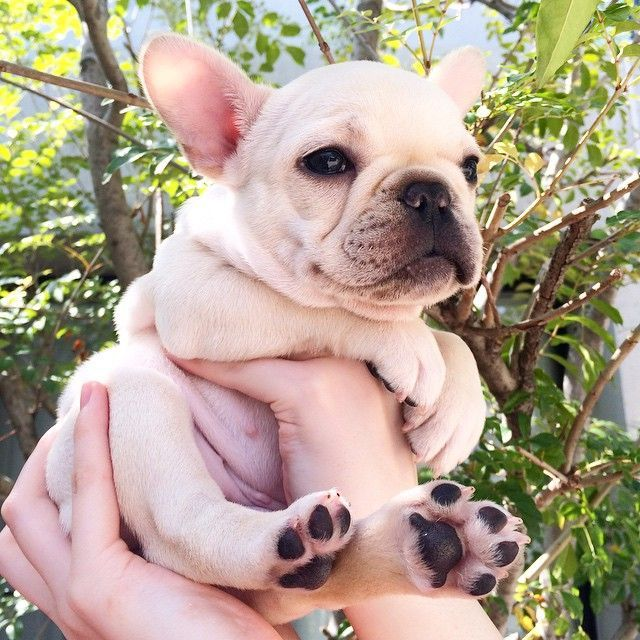 Download English Bulldog Chubby Adorable Dog - ea21bd9fdbed306c7f3fef5e64973d61  Perfect Image Reference_389057  .jpg