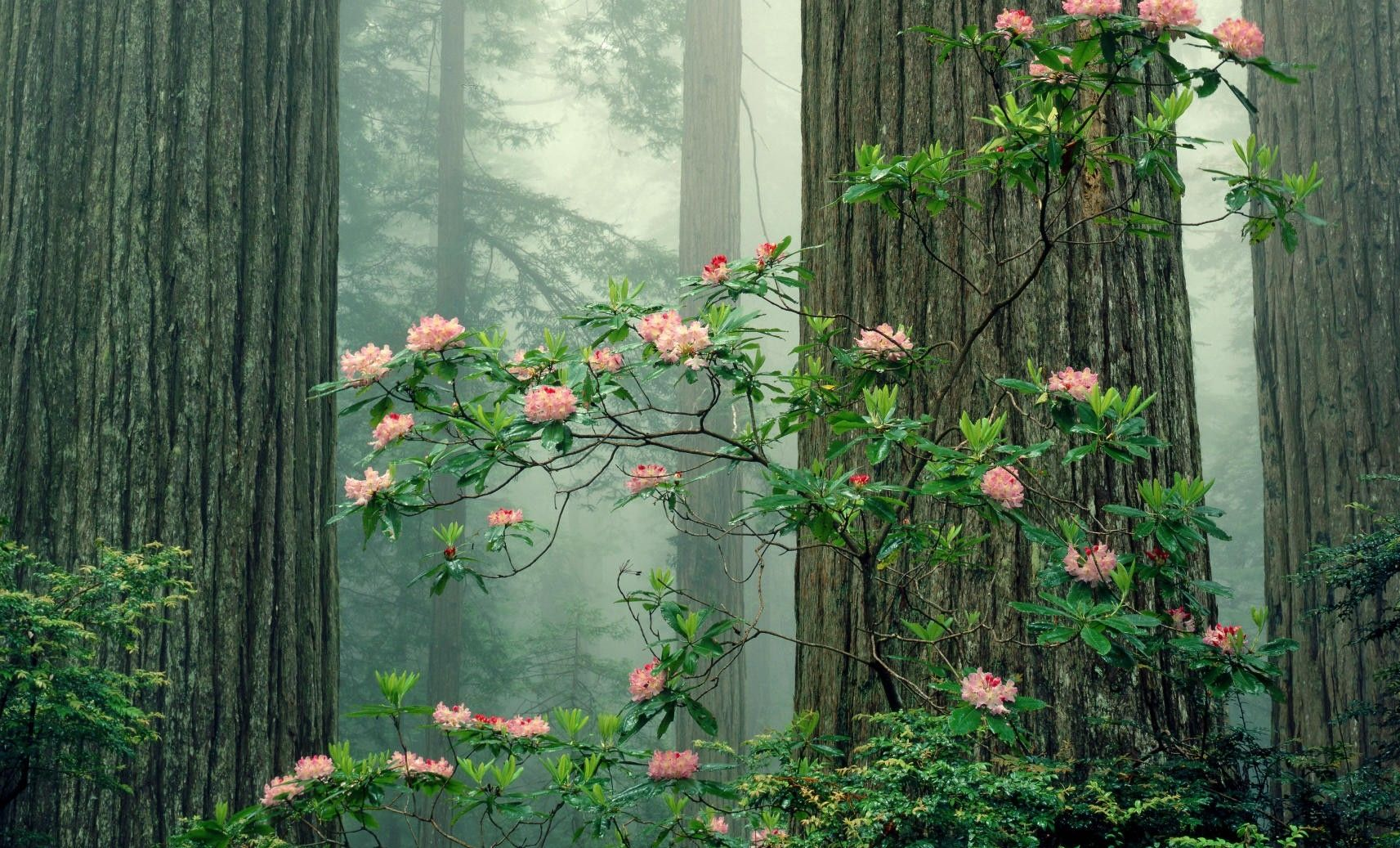 Rhododendrons In Bloom Redwood National Park California Flower Landscape Forest Flowers Nature