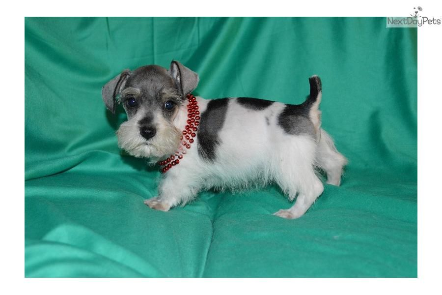 Miniature Schnauzer Puppies Schnauzer Miniature Puppy For