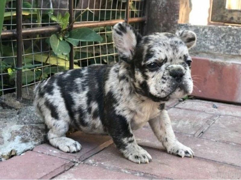 French Bulldog Puppies For Sale In Wv Frenchbulldogspuppy