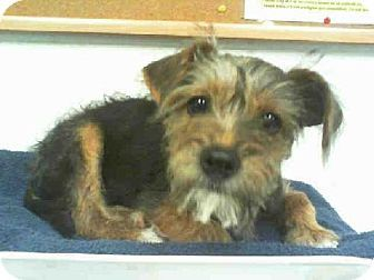 Houston Tx Border Terrier Miniature Schnauzer Mix Meet Hunter