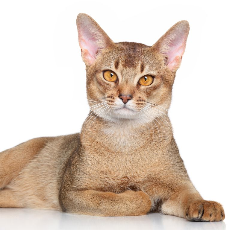 Want a Wild Addition to Your Home? Check Out These 8 Cats
