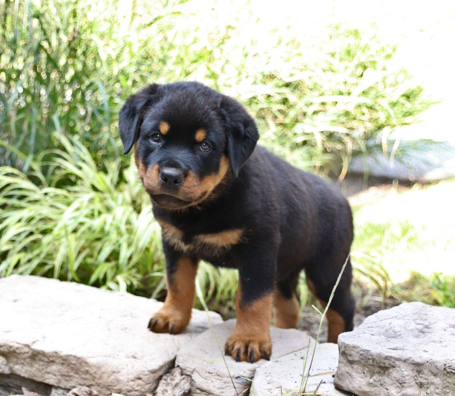 Strong And True With A Lovingheart The Rottweiler Is Affectionately Called Rottie O In 2020 Rottweiler Puppies Rottweiler Puppies For Sale Rottweiler Dog Puppy