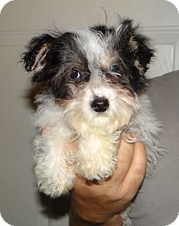 Pin By Uber Wagmore On Adoptable Small Breeds Yorkshire Terrier Bichon Frise Yorkie