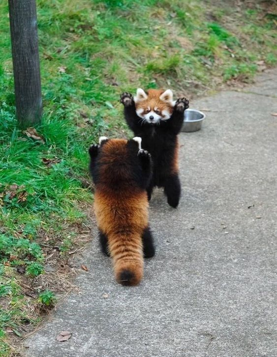 Celebrate Red Panda Day With a Collection Of Adorable Photos - I Can Has Cheezburger?