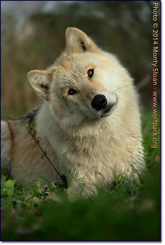 Lobo Hermoso Mooie Wolf Recuerdos De Libros Lobos Perro Lobo