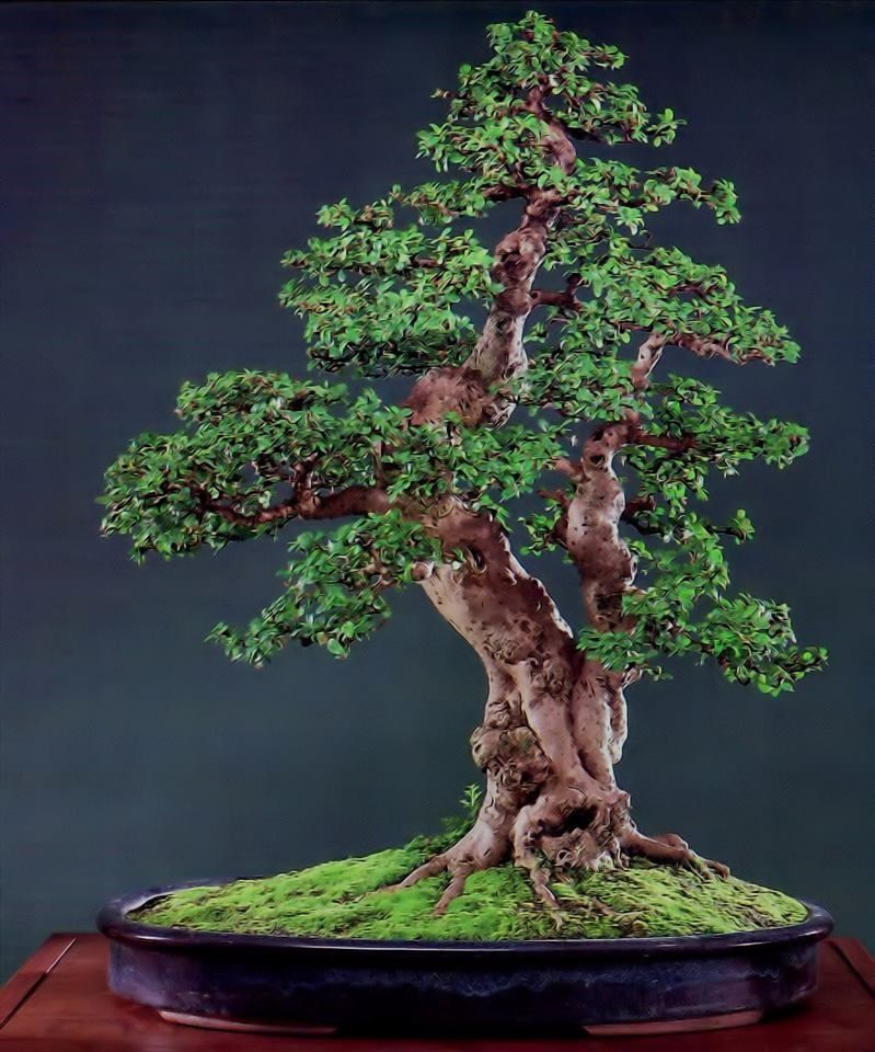 bonsai amazing bonsai trees pinterest zwerg baum und gr n. Black Bedroom Furniture Sets. Home Design Ideas