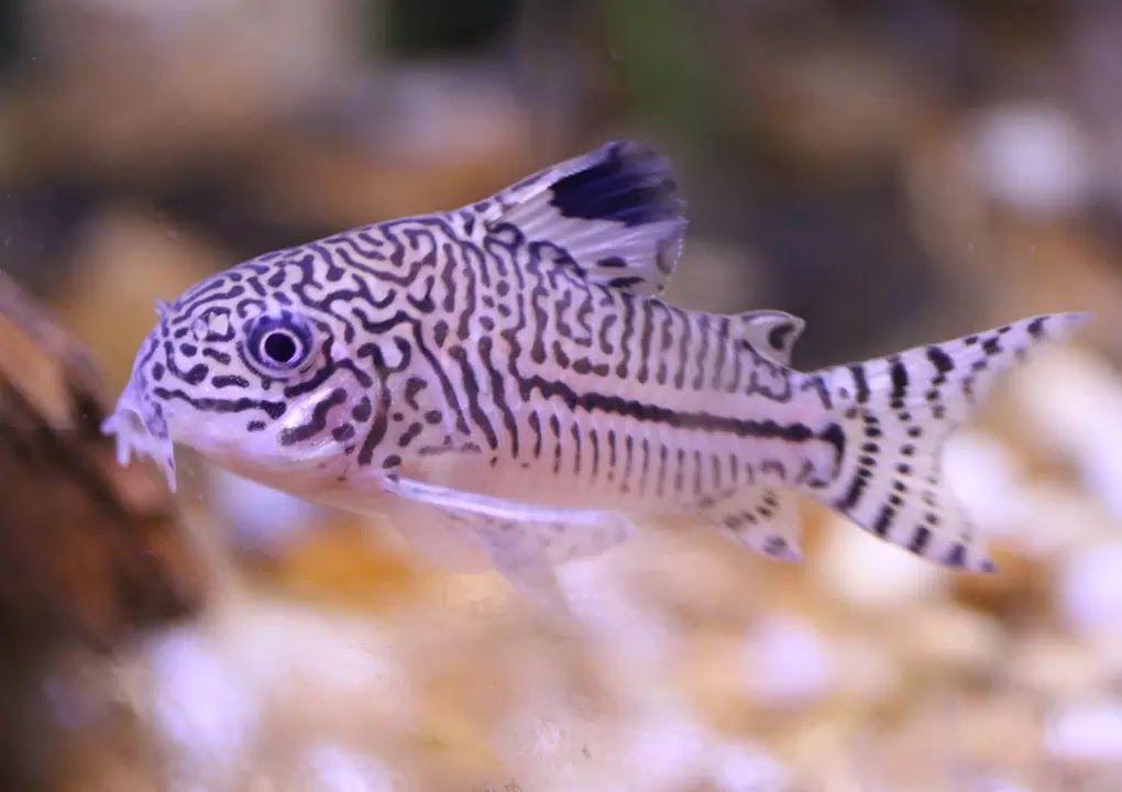 9 Best Peaceful Community Fish Breeds For Aquariums The Buzz Land Fish Breeding Aquarium Catfish Aquarium Fish