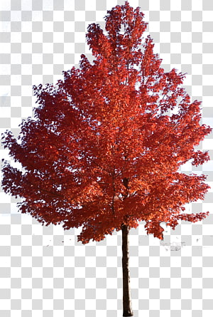 Orange Leafed Tree Red Maple Japanese Maple Sugar Maple Tree Trees Transparent Background Png Clipart Tree Photoshop Tree Textures Watercolor Trees