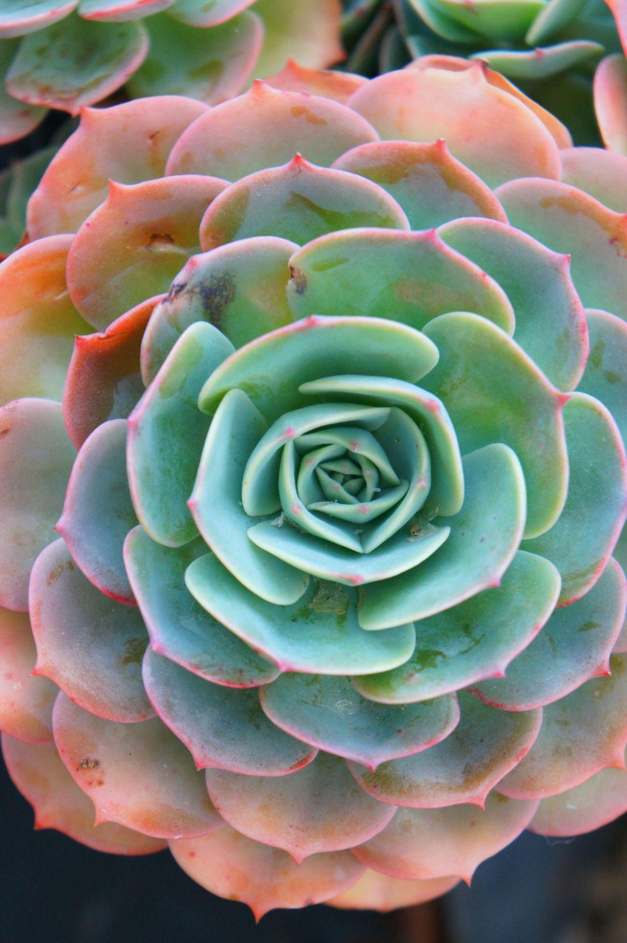 Echeveria \'imbricata\' | Kenmore: kitchen garden | Pinterest ...