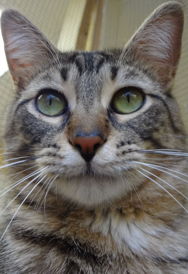 Tomas Is A Gentle Quiet Young Boy Adoptable From Feline Rescue St Paul Mn Great With Other Cats Friendly Sweet More Info Http Www Petfi Felino Gatos