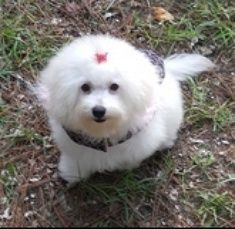 White PomaPoo puppy @ 4 months if full coat. | Poodle ...