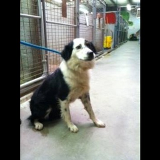 Aiken Panda Hw By Middlemutts Panda Is A Sweet Border Collie 1 1 2 Yrs Old Set To Die Monday 10 28 8 Am Why Dog Adoption Pet Adoption Your Pet