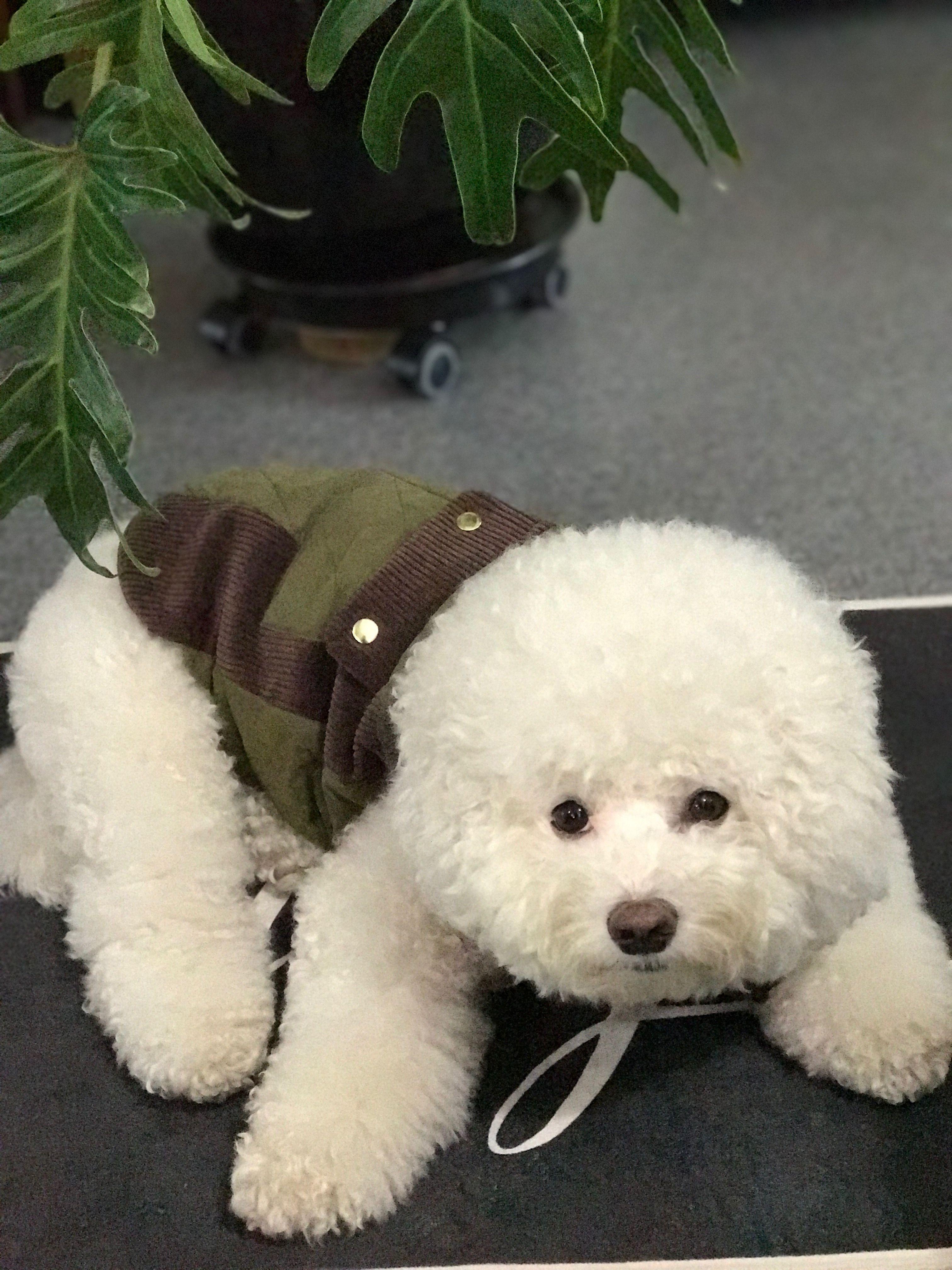 Lucky Maru My Boy Bichon Frise Bichon Frise Bichon Dog Breeds