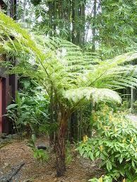 tree fern - Google Search #tropischelandschaftsgestaltung
