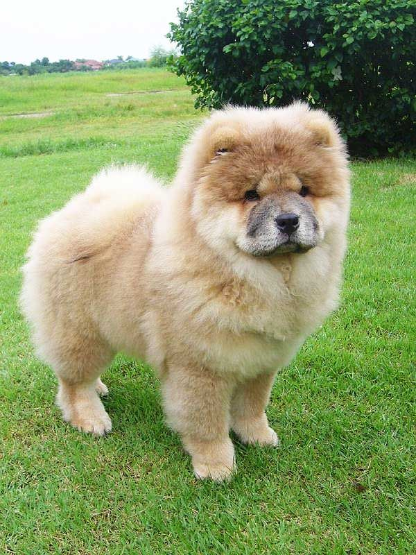 Chow Chow The Best Dogs Looks Like My Reagan When She Was A Baby