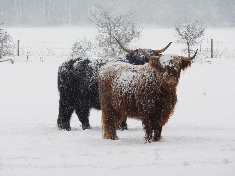 highland cattle in the snow | Scottish animals, Highland ... - photo#38