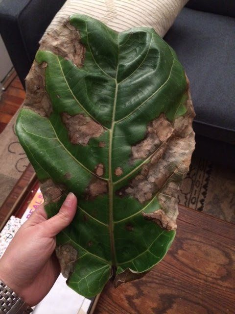 can i save my fiddle leaf fig plant u2014 good questions - Fiddle Leaf Fig Tree Care