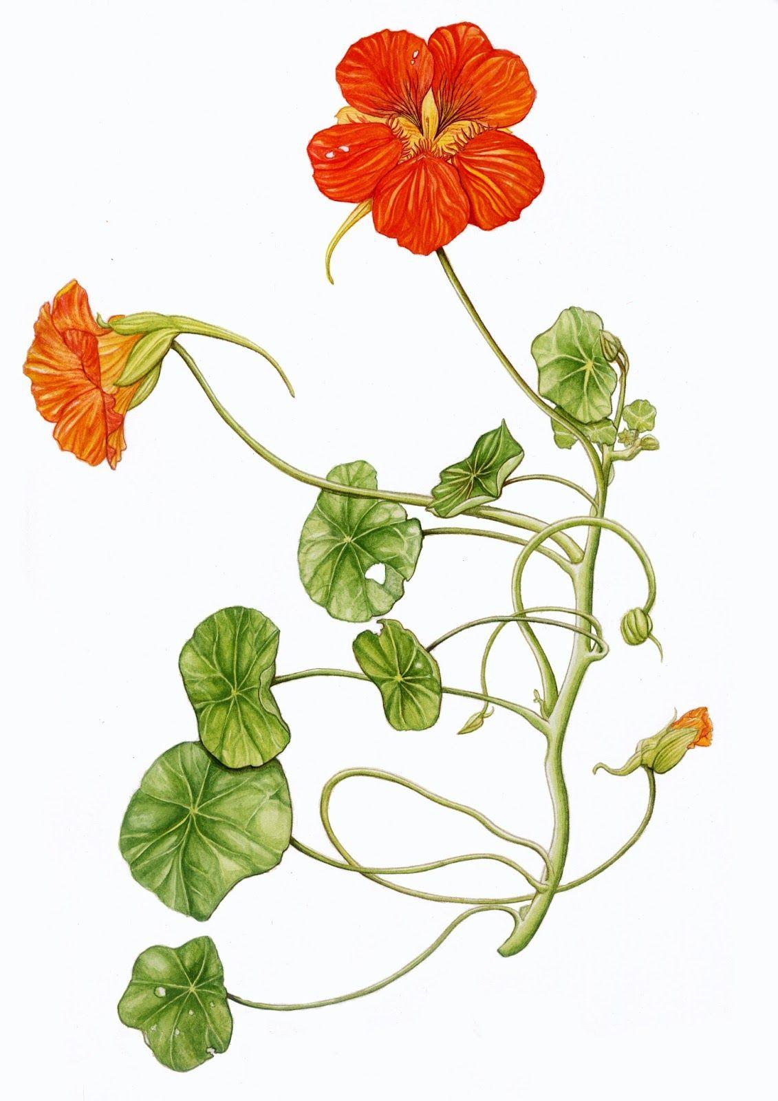 Capucine - Tropaeolaceae | Herboristerie, Naturellement ...