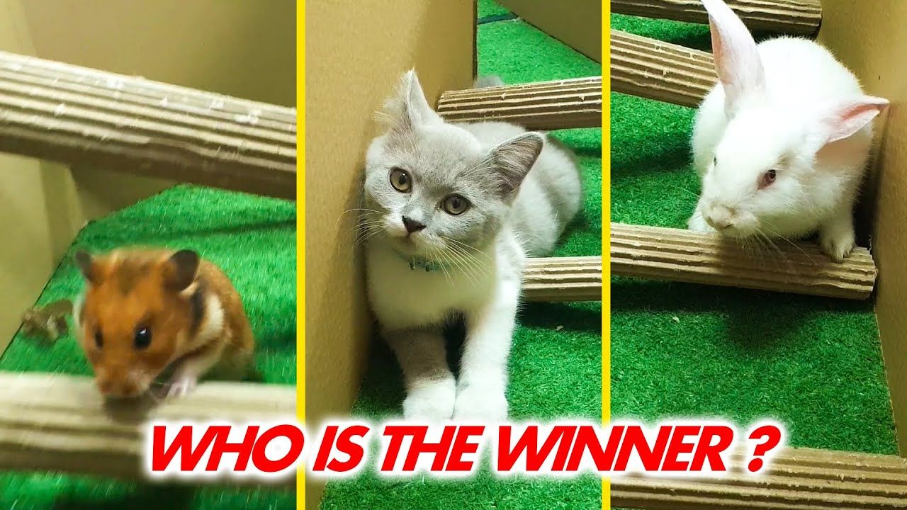 Cat Kitten Vs Hamster Vs Rabbit Who Is The Best Battle In The Gaint Ma In 2020 Cats And Kittens Hamster Funny Animal Videos