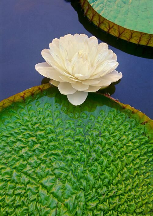 Texture Lily Pad Giant Water Lily Beautiful Flowers Lily Flower