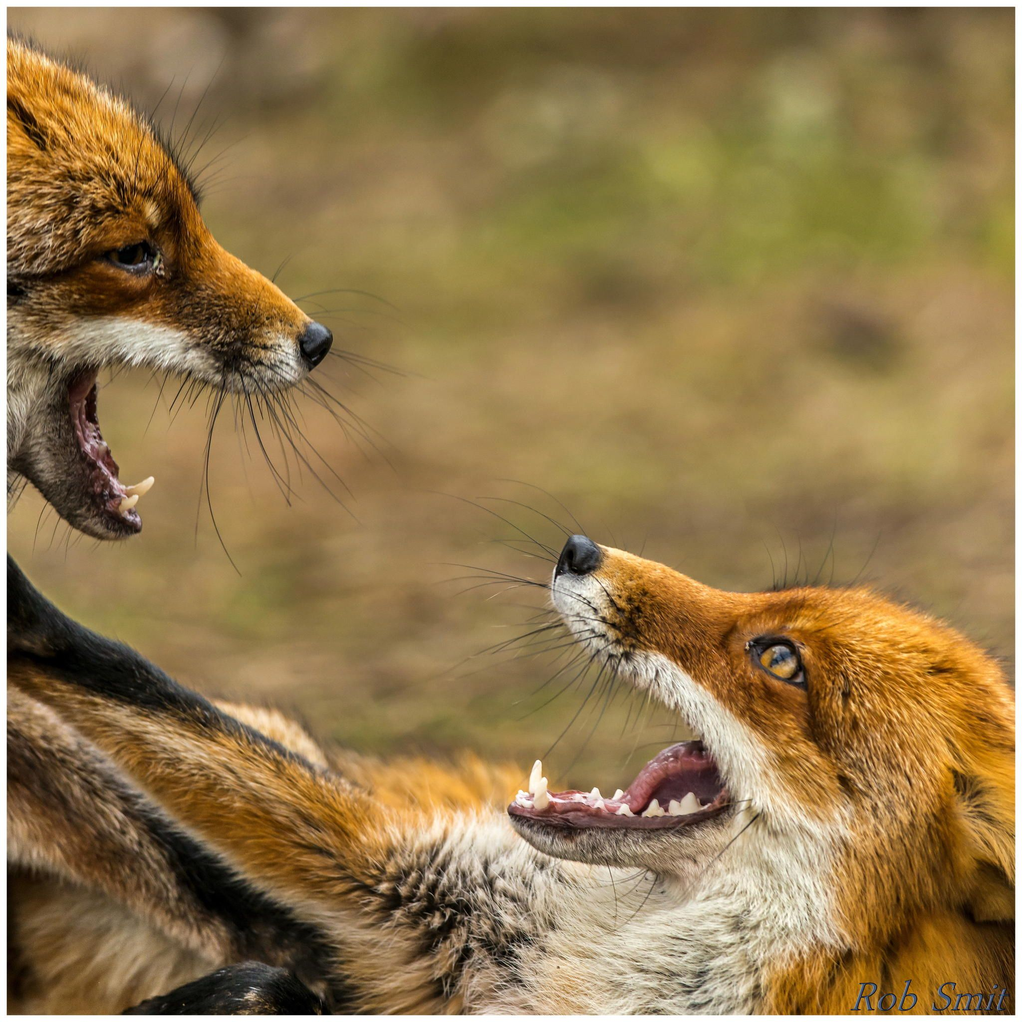 Fighting foxes part II (Vulpes vulpes) by Rob Smit on 500px