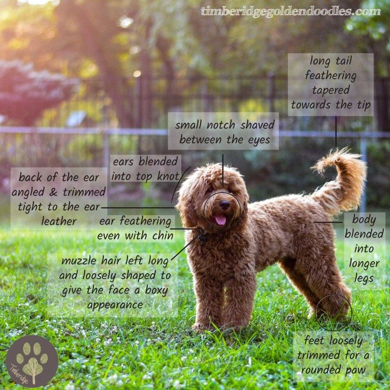 How to groom a goldendoodle goldendoodle grooming