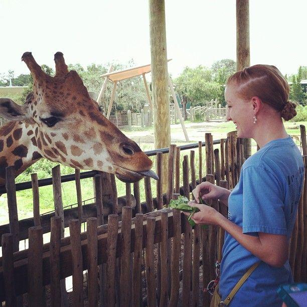 I Got To Feed A Giraffe At Lowry Park Zoo Giraffe Animals Zoo